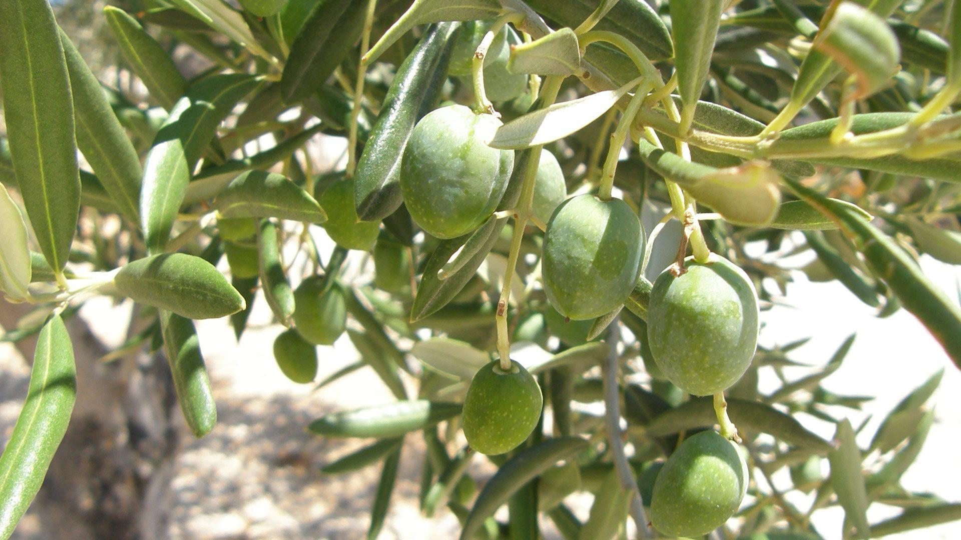 frische Oliven am Olivenbaum für Essenzen